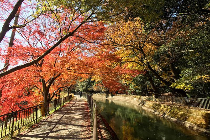 Erables d'automne au Japon - crédits : Shigeyama